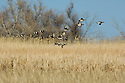 00318-006.20 American Wigeon Duck flock in flight over cattail marsh.  Trees in background.  Habitat, waterfowl, hunt, courtship, action, fly.