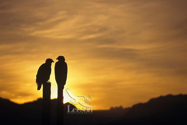 Bald Eagles sit on old piling poles against morning sunrise.