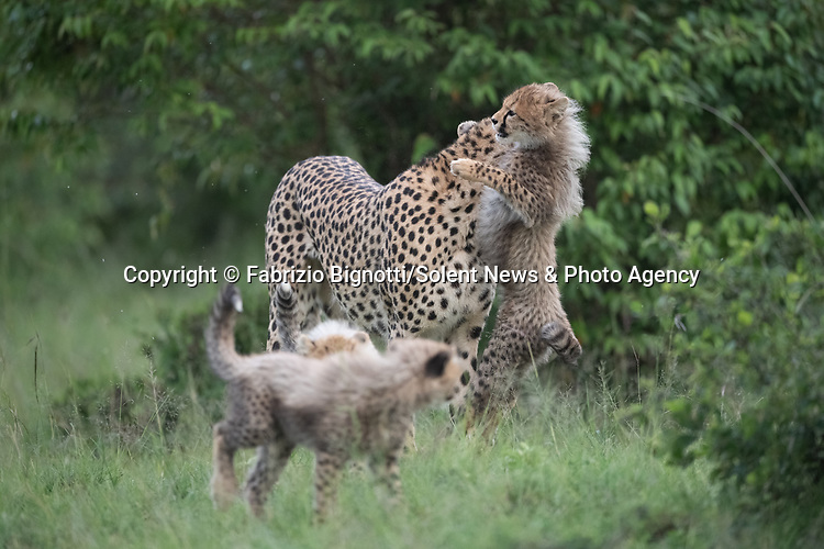 SEQUENCE 12 OF 15:  A young cub takes a tumble as he tries to crawl up his mother's back.  The small African cheetah falls on its paws after being shoved to the ground by its jealous sibling.<br /> <br /> Wrestling each other on the uncut grass, the cubs try to grab their mother's attention.  Amateur photographer Fabrizio Bignotti captured the cubs playing near their mother at Masai Mara National Reserve, Kenya.  SEE OUR COPY FOR DETAILS.<br /> <br /> Please byline: Fabrizio Bignotti/Solent News<br /> <br /> © Fabrizio Bignotti/Solent News & Photo Agency<br /> UK +44 (0) 2380 458800