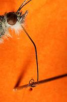 Schmetterling, Portrait mit saugenden Mundwerkzeug, Mundwerkzeuge, langer aufgerollter Saugrüssel zum saugen von Nektar, mit Nadel präpariert, um die Länge des Rüssels deutlich zu machen, Kleiner Kohlweißling, Kleiner Kohlweissling, Rübenweißling, Pieris rapae, Artogeia rapae, Small White
