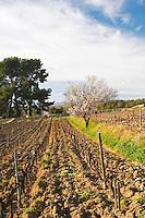 View over the vineyard in spring, vines in Cordon Royat training with an almond tree in bloom blossom. Mourvedre Domaine de la Tour du Bon Le Castellet Bandol Var Cote d'Azur France