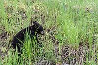 Black Bear cub at Yellowstone National Park, Wyoming