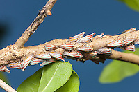A colony of Oak Treehoppers (Platycotis vittata) perch on a branch of a Southern Live Oak (Quercus vinginiana) tree.