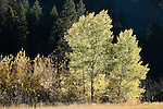 Golden colors of an aspen tree in fall in Montana