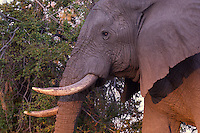 Close up of a side view of African Bull Elephant at dusk in the Okavango Delta, Botswana Africa