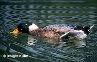 DG08-038z  Mallard Duck - male - Anas platyrhynchos