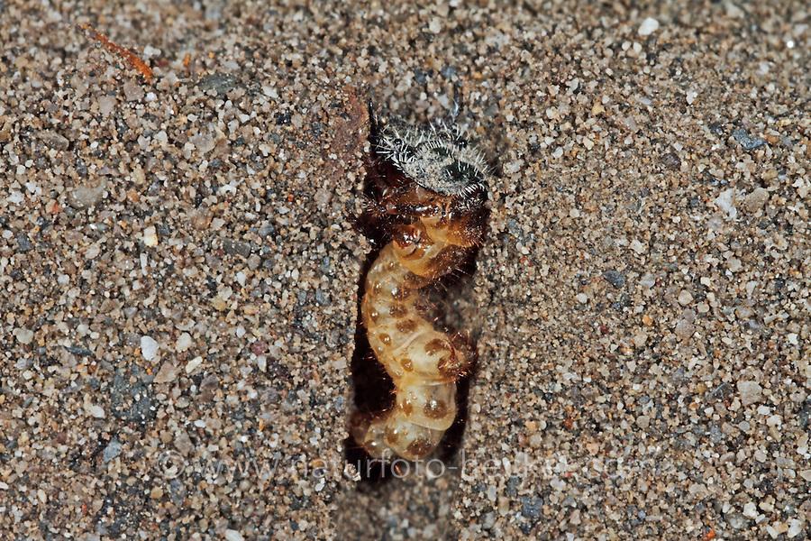 Dünen-Sandlaufkäfer, Larve, Käferlarve in Erdröhre, Brauner Sandlaufkäfer, Kupferbrauner Sandlaufkäfer, Sand-Laufkäfer, Cicindela hybrida, dune tiger beetle, northern dune tiger beetle, larva, larvae, grub