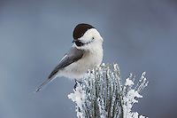 Willow Tit (Parus montanus), adult on frost covered  Swiss Stone Pine by minus 15 Celsius, St. Moritz, Switzerland, December 2007