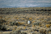 Male Sage Grouse strutting on edge of lek in sagebrush during early spring mating season.  Eastern Oregon.