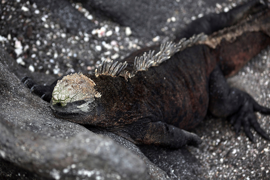 A marine iguana, found only on the Galapagos Islands, lounges on a rock on Isabela Island. The marine iguana is the only modern lizard that lives and forages in the sea and its primary food source is marine algae. Because they have to rid their bodies of excess salt, one can often see marine iguanas making a sort of sneezing sound and expelling water and salt from their noses.