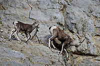 Stone sheep or Stone's sheep (Ovis dalli stonei), a southern subspecies of Thinhorn Sheep, ewe and lamb on rocky cliff.  Northern British Columbia.  Sept.