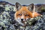 Canada, Nunavik, red fox (Vulpes vulpes) Quebec