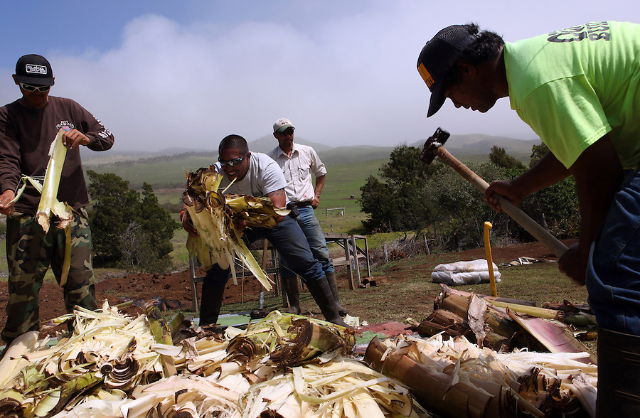 """Shane Ho'opai (far right) and some volunteer friends break up banana stumps in preparation for cooking a wild pig for Shane's brother Jesse's wedding at their father's home in Waimea, Hawaii.  """"We have some river rocks and keawe wood and then we'll put a bed of banana stumps and ti leaves down and then we'll put the pigs in,"""" says Jesse Ho'opai, describing the traditional Hawaiian kalua pig-cooking process.  """"The pigs will cook for hours and come out very soft and tasty,"""" he adds.  Many of the cowboy families supplement their income by hunting and fishing.  """"Growing up, we survived off the pork,"""" says Shane Ho'opai, Jesse's brother.  """"When my dad worked for Parker Ranch, he didn't bring home that much,"""" he explains."""