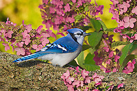 Blue Jay (Cyanocitta cristata) in backyard garden. Autumn. Nova Scotia. Canada..