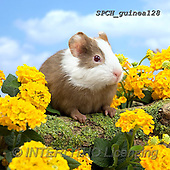 Xavier, ANIMALS, REALISTISCHE TIERE, ANIMALES REALISTICOS, photos+++++,SPCHGUINEA128,#A#, EVERYDAY ,funny