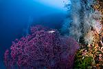 Purple Gorgonion w hawkfish black coral