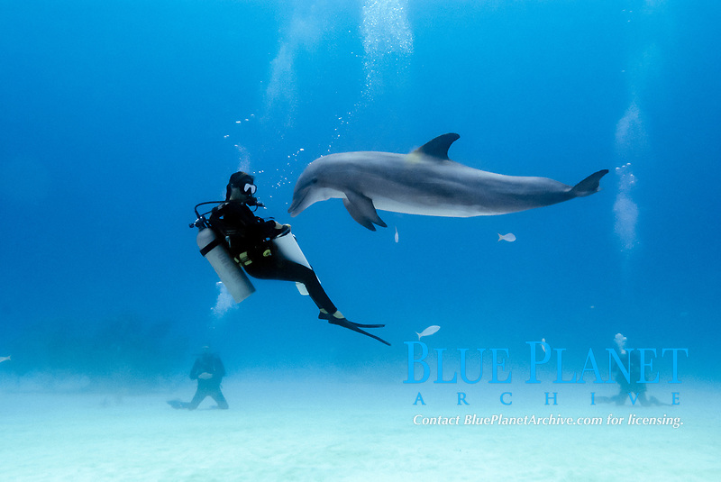 Atlantic bottlenose dolphin, tursiops truncastus, and diver in the open ocean off Grand Bahama Island