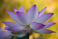 Side view of pink lotus in bloom with yellow background