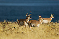 Pronghorn (Antilocapra americana) buck guarding female from rival during fall rut.  Western U.S.