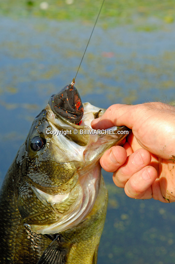 00710-015.04 Largemouth Bass (DIGITAL) caught on Scum Frog in slop is displayed close-up by anglers hand.  Fish, lake.  V6R1