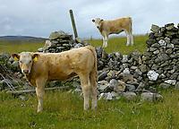 Simmental sired calves. Isle of Man.......Copyright John Eveson,Dinkling Green Farm, Whitewell, Clitheroe, Lancashire. BB7 3BN. ..01995 61280..j.r.eveson@btinternet.com..www.cfimages.co.uk