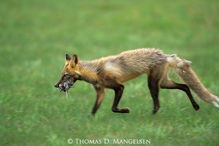 Cross Fox carrying a carcass in Denali National Park, Alaska.