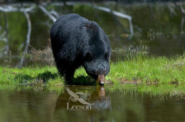 Wild Black Bear (Ursus americanus) boar.   Western U.S., Spring.