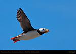 Horned Puffin in Flight, Duck Island, Puffin Island, Tuxedni Bay, Cook Inlet, Alaska
