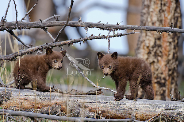 """Wild Black Bear (Ursus americanus) cubs (cinnamon color phase).  Western U.S., spring. (This is what is known as """"coys""""--cubs of the year.)"""