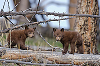 "Wild Black Bear (Ursus americanus) cubs (cinnamon color phase).  Western U.S., spring. (This is what is known as ""coys""--cubs of the year.)"
