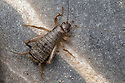 Scaly Cricket male (Pseudomogoplistes vicentae) amongst shingle. England, UK. Captive.