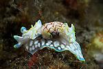 Miniature Melo, Nudibranch