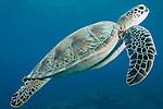 Maarehaa Kandu, Maarehaa Island, Huvadhoo Atoll, Maldives; a Green Sea Turtle (Chelonia mydas) swimming in blue water over the coral reef