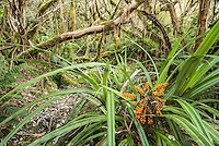 Native rainforest in Copland Valley with Astelia fragrans, Westland National Park, West Coast, South Westland, World Heritage Area, New Zealand