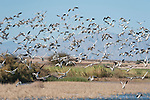 Sonny Bono Salton Sea National Wildlife Refuge, Salton Sea, California; hundreds of Snow Geese (Chen cairulescens) take flight from a wetlands during their migration