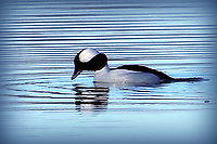 BUFFLEHEAD GOES FISHING<br />A bufflehead duck is set to dive for a fish on Dec. 26 at Lake Fayetteville. Phyllis Kane of Fayetteville took the picture from the Mulhollan bird viewing blind at the lake. <br />(Courtesy photo/Phyllis Kane)