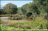 BNPS.co.uk (01202 558833)<br /> Pic: PhilYeomans/BNPS<br /> <br /> An area already returned to nature, with ponds made by beavers and spreading scrubs and trees for the large Heck cattle to roam through.<br /> <br /> Back to the future - A farmer is returning his land back to the Stone Age and reintroducing species of wild animals once extinct in the UK - after becoming disenchanted with 'unsustainable' modern farming techniques.<br /> <br /> Derek Gow is using a herd of Nazi-engineered cows to spearhead his radical rewilding scheme that will create the farming version of Jurassic Park.<br /> <br /> The Heck cows that died out in the Iron Age were re-established in Nazi Germany in the 1930s as part of a genetics programme to create a breed of super cattle.<br /> <br /> Joining them on Mr Gow's 115 acre ring-fenced plot of upland in Devon will be rabbit-eating wildcats, wild boar and beavers.