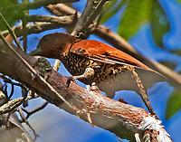 Female cinnamon woodpecker