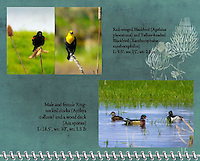 """September of the 2012 Birds of a Feather Calendar.  These two photos are called """"Blackbirds with attitude"""" and """"Wood Duck and Ring-Necked Ducks"""" which shows a male ring-necked duck (Aythya collaris) seems to be eyeing a wood duck (Aix sponsa) that is swimming by on a pond while a female ring-necked duck looks away.  A grassy marsh is in the background."""