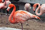 caribbean flamingo, medium shot