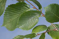 Flatterulme, Flatter-Ulme, Ulme, Flatterrüster, Blatt, Blätter, Ulmus laevis, Ulmus effusa, European White Elm, Fluttering Elm, Spreading Elm, Russian Elm, Elm