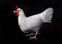 """In the photo the race  Leghorn, or Livorno white Chickens  female.<br /> <br /> The Leghorn Italian: Livorno or Livornese) is a breed of chicken originating in Tuscany, in central Italy. Birds were first exported to North America in 1828 from the Tuscan port city of Livorno, on the western coast of Italy. They were initially called """"Italians"""", but by 1865 the breed was known as """"Leghorn"""", the traditional anglicisation of """"Livorno"""". The breed was introduced to Britain from the United States in 1870.White Leghorns are commonly used as layer chickens in many countries of the world. Other Leghorn varieties are less common.<br /> Photo Roosters and Hens Ornamental breeds, Italian champion breeds August 2020."""