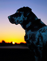 A glossy Black Labrador Retriever dog in silhouette at sunset.