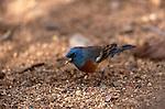 Lazuli Bunting (Passerina amoena, Sonoran Desert, Arizona