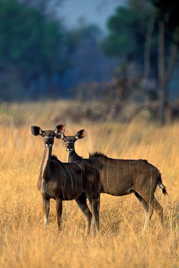 Kudu, Tragelaphus strepsiceros, Okavango Delta, Botswana, Africa