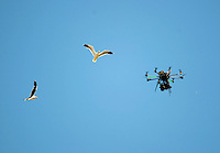 Seagulls buzz a Skysport drone as it films day one of the international cricket test between the NZ Black Caps and Australia at Westpac Stadium, Wellington, New Zealand on Friday, 12 February 2016. Photo: Dave Lintott / lintottphoto.co.nz