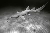 black and white composition Free Swimming Nurse Shark, Ginglymostoma cirratum, Florida, Atlantic