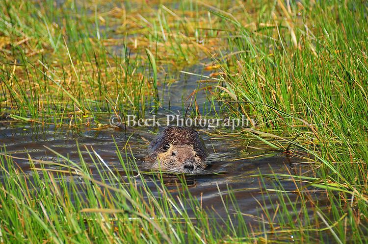 Beaver swimming in water