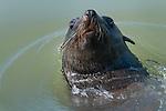 Cape fur seal (Arctocephalus pusillus pusillus), Walvis Bay, Namibia, Africa.