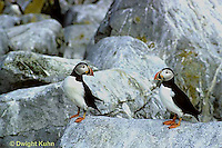 MC25-008z  Atlantic Puffin - on rocks at Machias Seal Island, Bay of Fundy - Fratercula arctica